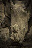 Male Rhino 2