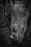 Male Rhino 2 Black & White