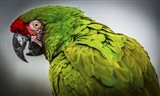 Green Ara