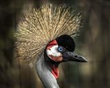 Yellow Crowned Crane 2
