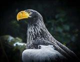 Steller Eagle II