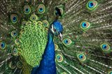 Peacock Showing Off Close Up III