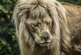 The White Albino Lion III