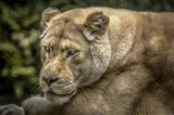 Female White Lion II