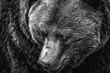 The Grizzly Close Up Black & White