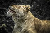 Female White Lion Roars II