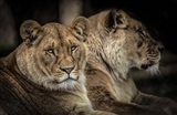 Two Female Lions