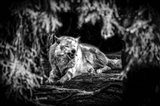 The Howling Wolf Black & White