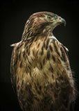 Predator Bird