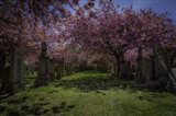 Cherry Blossem 3