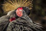 Crowned Crane II