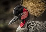 Crowned Crane IV
