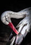 The Stork II