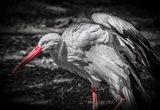 The Stork IV