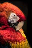 Red Ara Parrot 2