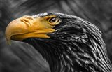 Steller Sea Eagle Black & White