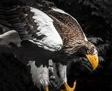 Steller Eagle III