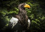 Steller Eagle IV
