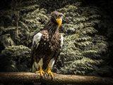 Steller Eagle VI