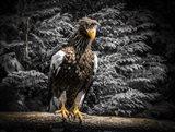 Steller Eagle V