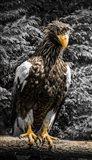 Steller Eagle V crop