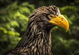 Steller Sea Eagle III