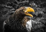 Steller Eagle 7A