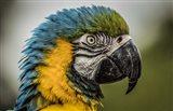 Blue Ara Parrot