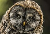 Lapland Owl