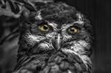 Little Owl Black & White