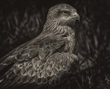 Predator Bird Sepia