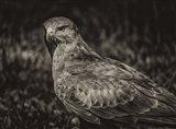 Predator Bird  II Sepia