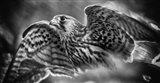 Predator Bird Spreading it's Wings - Black & White