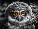 Young Owl Black & White