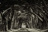 Cypress Trees Sepia