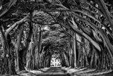 Cypress Trees Black & White