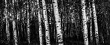 Birch Trees Black & White