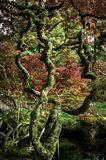 Japanese Garden Tree 2