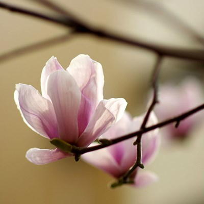 Tulip Tree Poster by PhotoINC Studio for $56.25 CAD