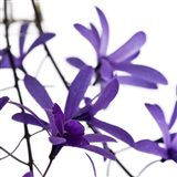 Purple Blossom 1