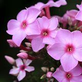 Pink Flowers 1