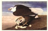 Bald Eagle W Goose