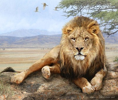 Shady Spot Lion Male Poster by Chris Vest for $51.25 CAD