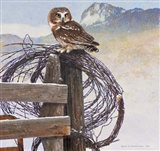 Saw-Whet Owl Rusty Fence