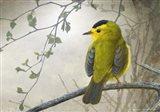Wetland Wilson's Warbler