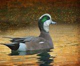Wigeon Duck Portrait