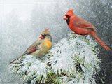 Snow Cardinals
