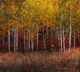 Aspen Forest Near Kelly WY