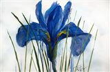 Iris Sings the Blues