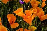 Wildflowers Poppy Arizona 2